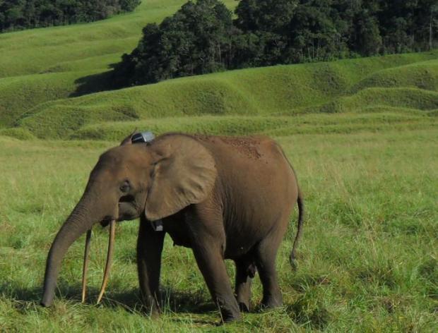 elefante foreste gabon